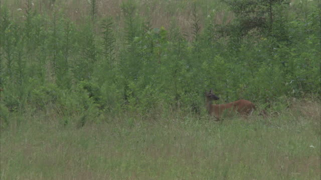 a deer and her fawn walk tentatively across a grassy meadow. - fawn stock videos & royalty-free footage
