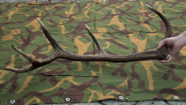 deer antler - antler stock videos & royalty-free footage