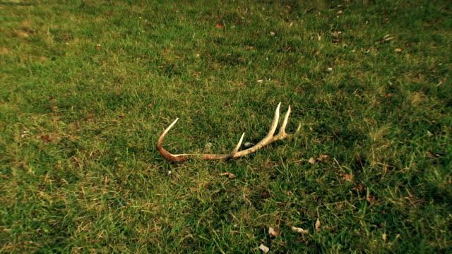 deer antler - antler stock videos & royalty-free footage