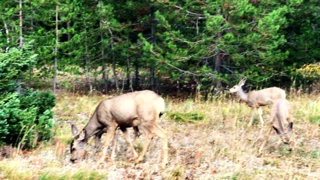 deer at yosemite national park - white tailed deer stock videos & royalty-free footage