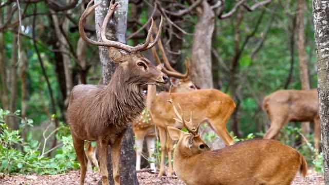 deer, axis deer, samba deer - fawn stock videos and b-roll footage