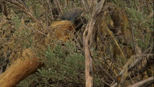 a deer carcass lies in a grassy field. - hoof stock videos & royalty-free footage