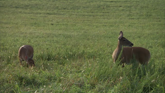 deer cautiously graze in a grassy meadow. - doe stock videos & royalty-free footage