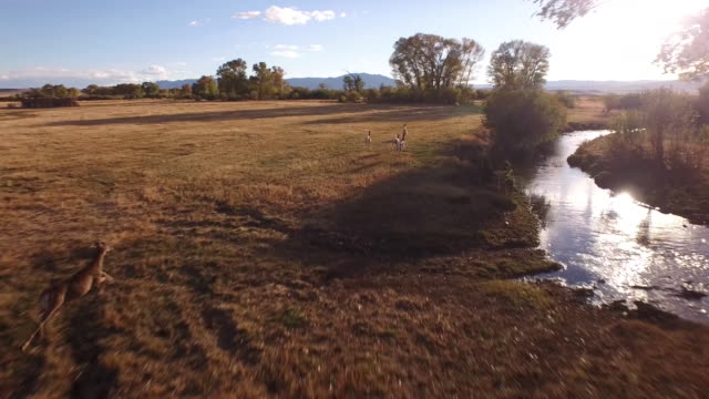 vídeos de stock e filmes b-roll de deer chase water reflection, 4k drone tracking aerial view wildlife herd hunting, deer, elk, bison, hawk, buck, cows, bird, buffalo, directors choice, editors choice, magic hour, sun flare, grassland, epic - veado