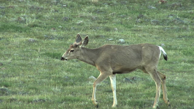 deer closeup - mule stock videos & royalty-free footage