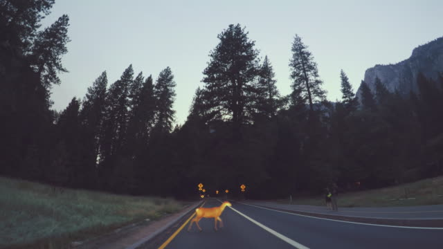 vídeos de stock e filmes b-roll de deer crossing road at yosemite national park pov - veado