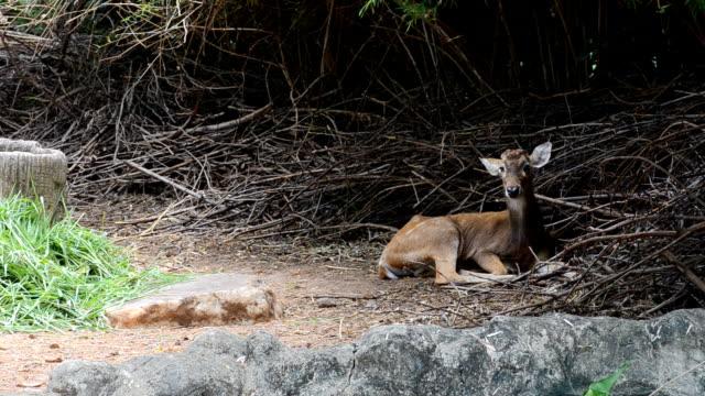 deer drowsily