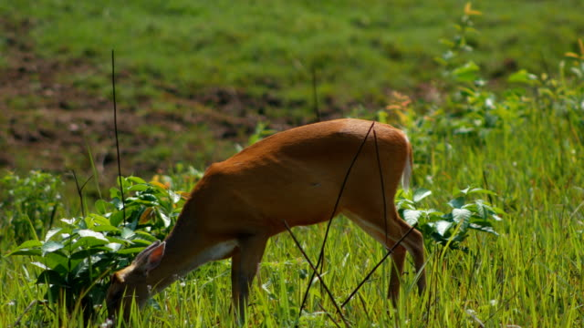 deer eating at khao yai national park Thailand