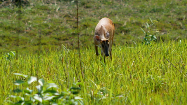 deer eating at khao yai national park
