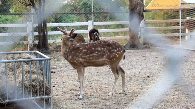 vídeos de stock, filmes e b-roll de cervos que comem o alimento - corça
