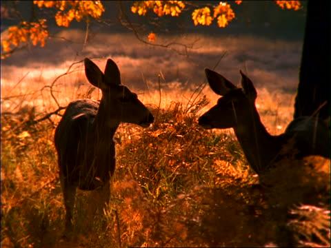 2 deer eating in grass under tree - 草食性点の映像素材/bロール