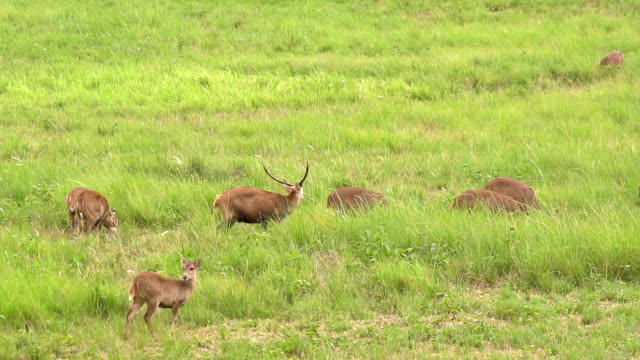 deer family eat grass in the same row - deer family stock videos and b-roll footage