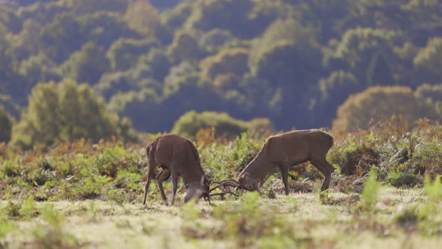 deer fight rutting - wildlife stock videos & royalty-free footage