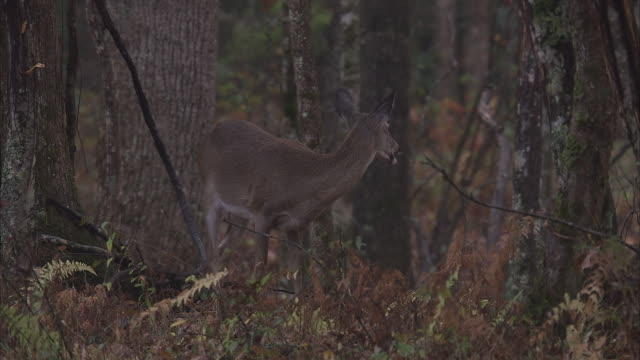 a deer forages in an appalachian forest. - hirsch stock-videos und b-roll-filmmaterial