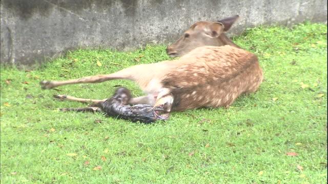 vídeos y material grabado en eventos de stock de a deer gives birth to a fawn while lying in the grass. - cervato