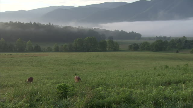 deer graze in a wide, grassy valley in the appalachian mountains. - appalachia stock videos & royalty-free footage