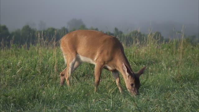 a deer grazes in a foggy meadow. - doe stock videos & royalty-free footage