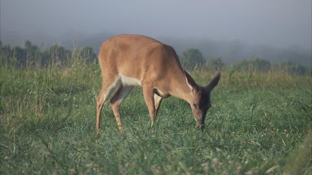 a deer grazes in a grassy, foggy meadow. - doe stock videos & royalty-free footage