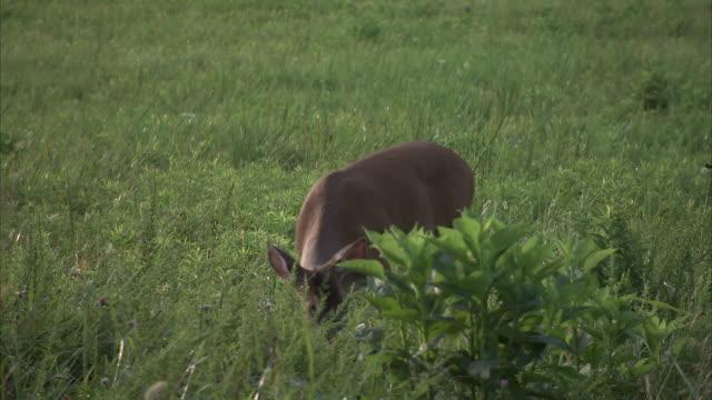a deer grazes in a grassy meadow. - femmina di daino video stock e b–roll