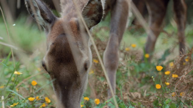 a deer grazes in tall grass. - wildflower stock videos & royalty-free footage