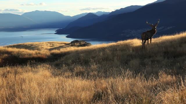 WS Deer grazing by lake, mountains in background / Lake Wakatipu, South Island, New Zealand