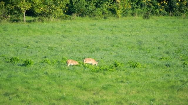 hjortar som betar i fältet - växtätare bildbanksvideor och videomaterial från bakom kulisserna