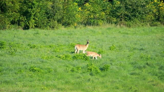 deer grazing in field - fawn stock videos & royalty-free footage
