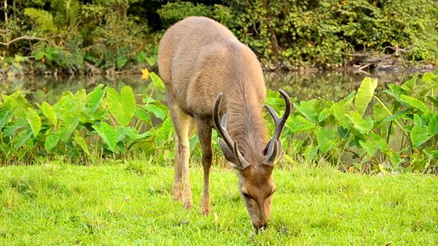 vídeos y material grabado en eventos de stock de deer pastoreo en campo - nariz de animal