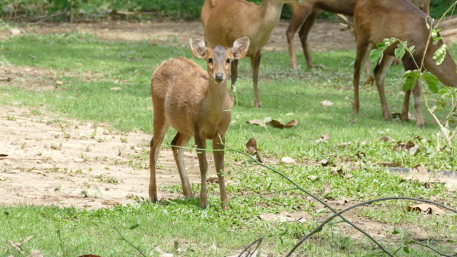 deer group walking and eating food in area farm. - fawn stock videos and b-roll footage