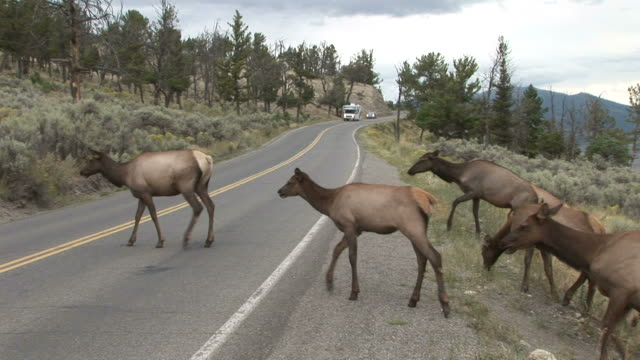 deer herd crossing the road in yellowstone national park of united states - überqueren stock-videos und b-roll-filmmaterial