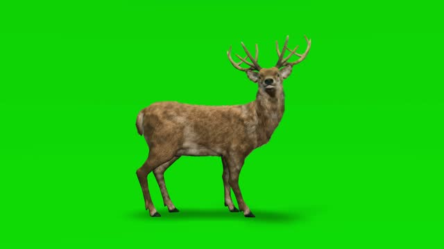 deer idle on green screen. the concept of animal, wildlife, games, back to school, 3d animation, short video, film, cartoon, organic, chroma key, character animation, design element, loopable - matte image technique stock videos & royalty-free footage