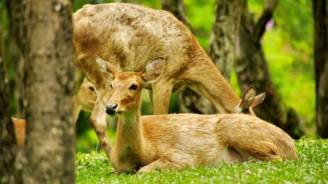 vídeos de stock, filmes e b-roll de cervo em uma reserva natural park - corça