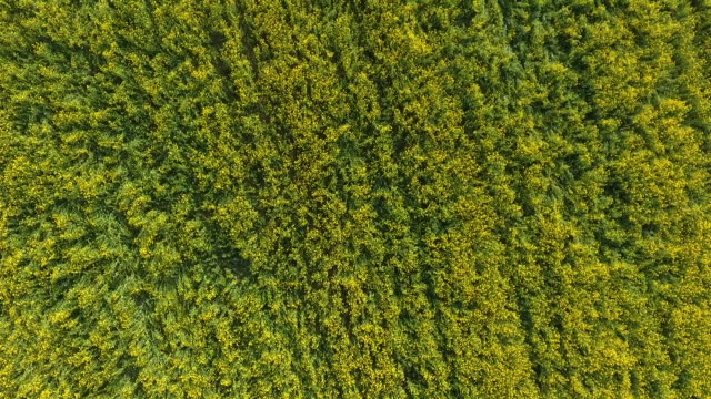 Deer in a yellow canola field or rape field. Aerial view, drone view