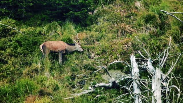 hjortdjur (cervidae) i skogen - djurbeteende bildbanksvideor och videomaterial från bakom kulisserna