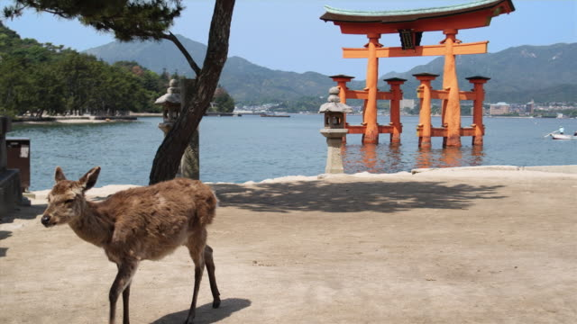 ms pan deer in front of torii gate and group of schoolchildren at itsukushima shrine at high tide, miyajima island, japan - japanese school uniform stock videos & royalty-free footage