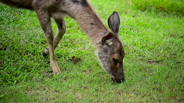 Deer in Khao Yai National Park