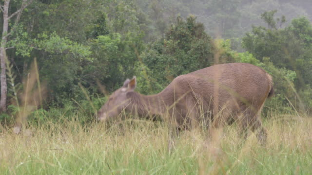 deer in meadow khao yai national park, thailand - white tailed deer stock videos & royalty-free footage