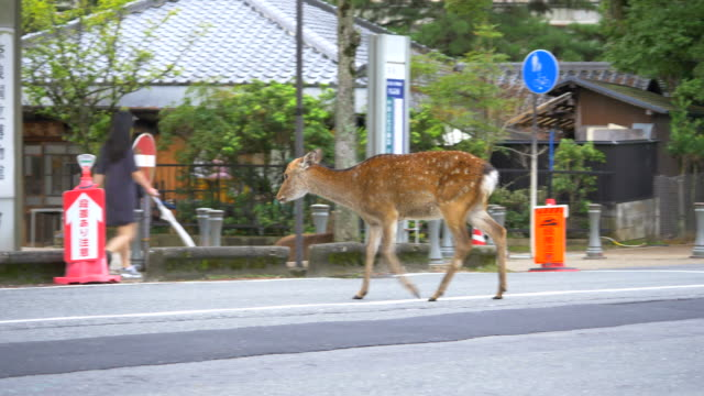 deer in nara city - deer stock videos & royalty-free footage