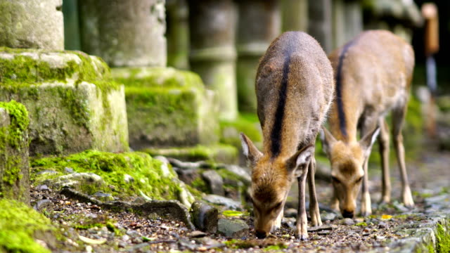 deer in nara - nara prefecture stock videos and b-roll footage