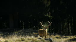 Deer in Paneveggio forest natural reserve