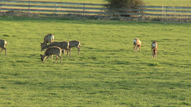 deer in pasture - medium group of animals stock videos & royalty-free footage