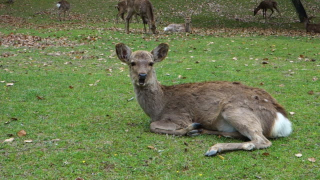 deer in the park, nara, japan - nara prefecture stock videos and b-roll footage