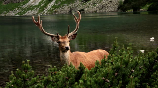 Deer in der Wildnis