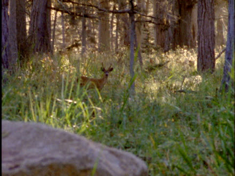 deer in the woods - white tailed deer stock videos & royalty-free footage