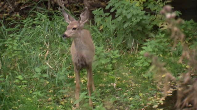 vídeos de stock e filmes b-roll de ms deer in woods / heber city, utah, usa - câmara à mão