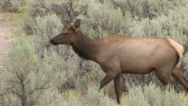 a deer in yellowstone national park of united states - hoofed mammal stock videos & royalty-free footage