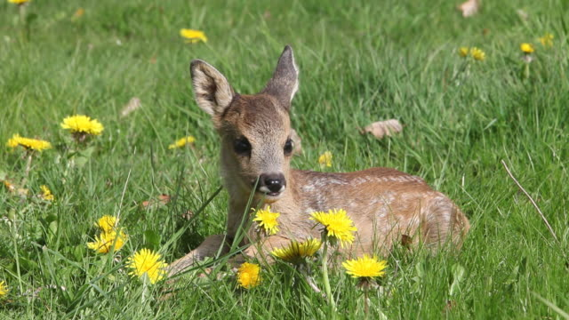vidéos et rushes de cu deer laying in meadow and then getting up / vieux pont, normandy, france - famille du cerf