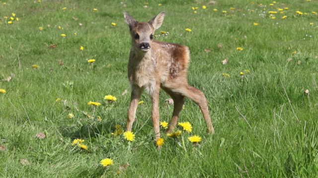 MS Deer licking in meadow / Vieux Pont, Normandy, France