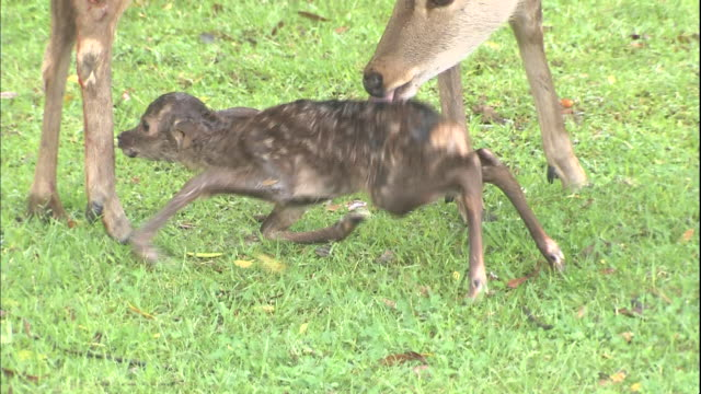 vídeos y material grabado en eventos de stock de a deer licks her newborn fawn as it struggles to stand. - cervato