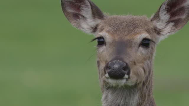 cu of deer looking around - deer stock videos & royalty-free footage